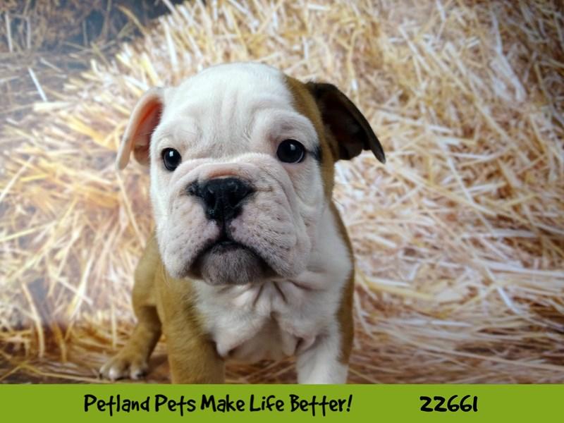 Bulldog-Female-Fawn-2519974-Petland Naperville