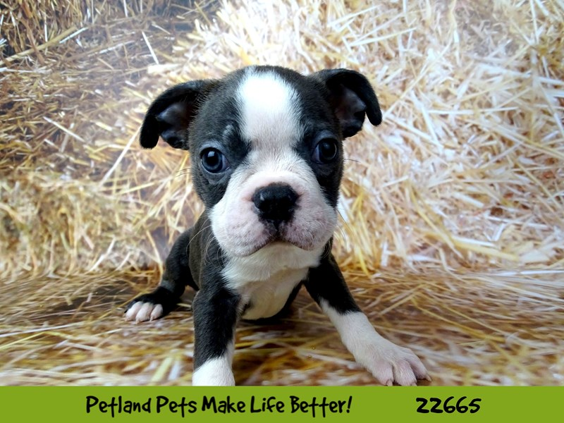 Boston Terrier-Male-Blue-2525012-Petland Naperville