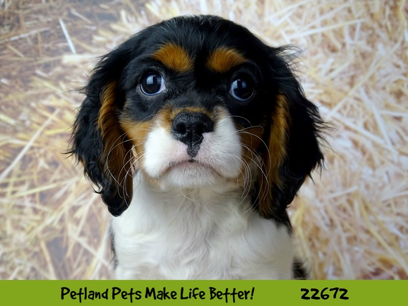 Cavalier King Charles Spaniel-Female-Black and White-2525441-Petland Naperville