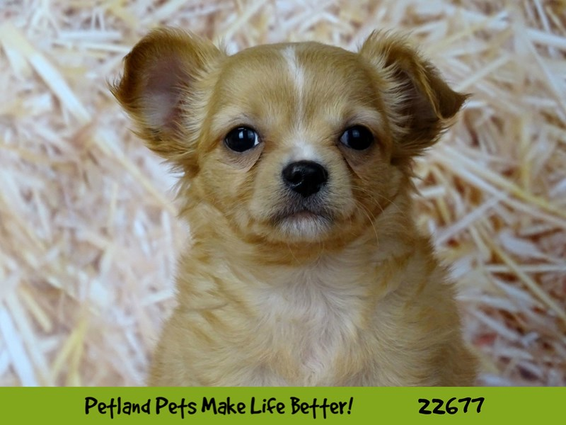 Chihuahua-Male-Red-2525244-Petland Naperville