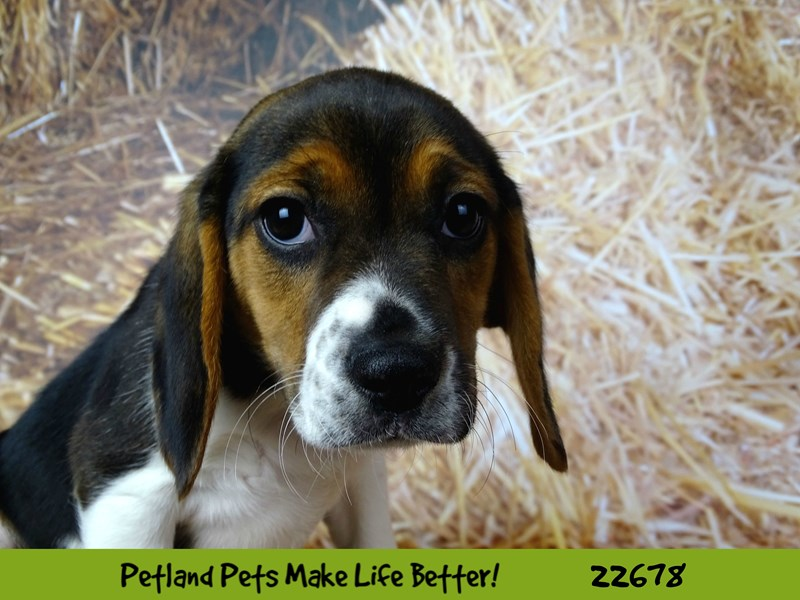 Beagle-Male-Black White / Tan-2525292-Petland Naperville