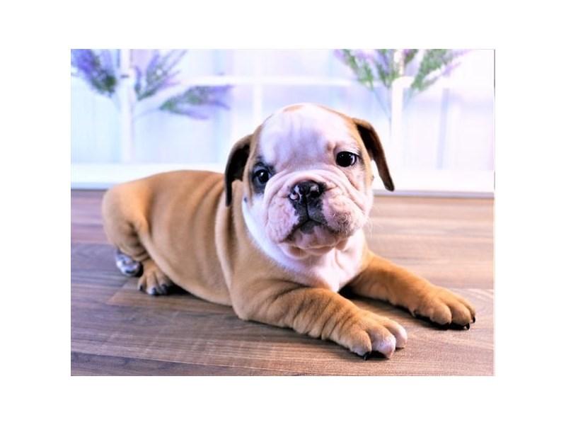 Victorian Bulldoge-Male-Fawn-2526747-Petland Naperville