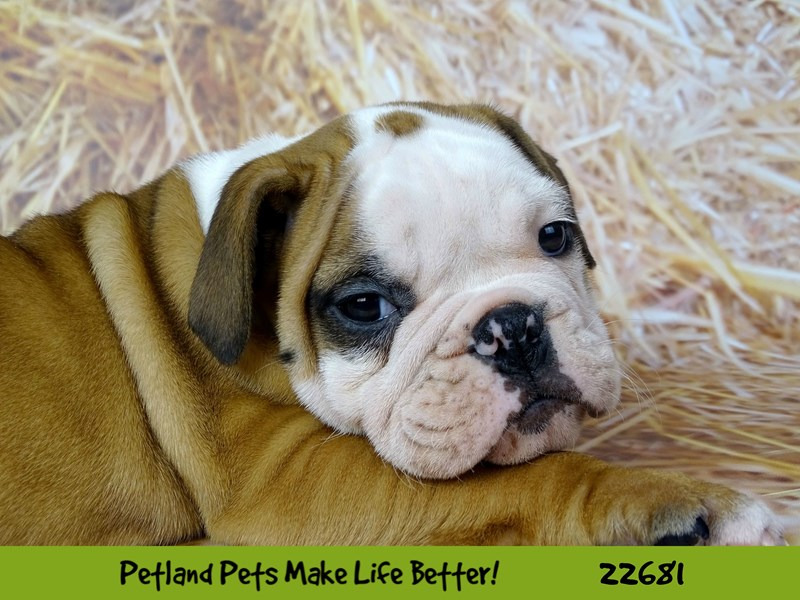 English Bulldog-Male-Brown / White-2526743-Petland Naperville