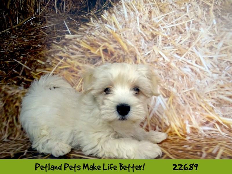 Maltipoo-Male-White-2532415-Petland Naperville