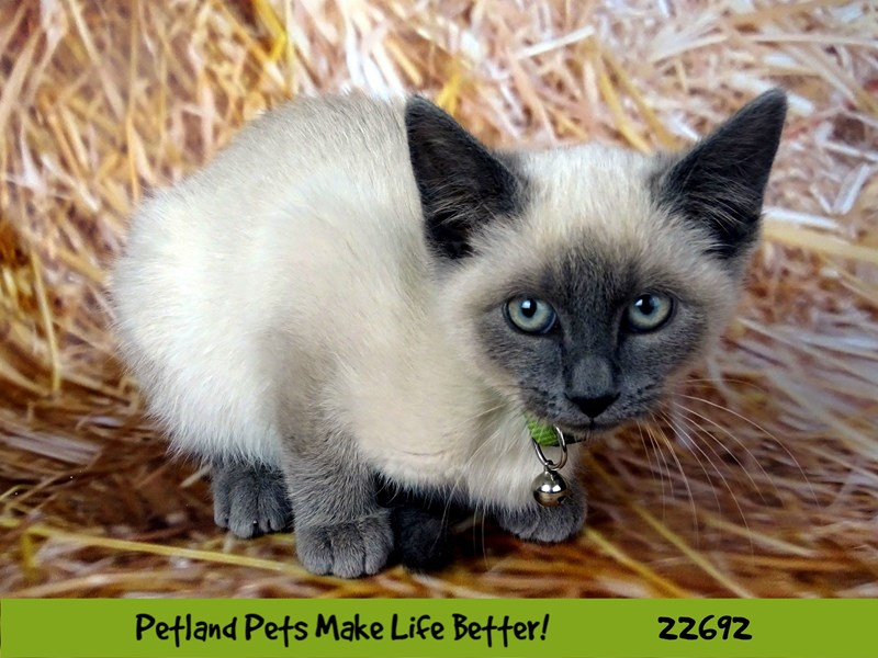 Siamese-Female-Grey w/ seal markings-2532601-Petland Naperville