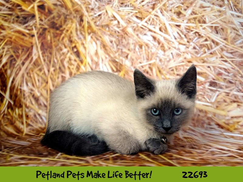 Siamese-Male-Grey w/ white markings-2532639-Petland Naperville