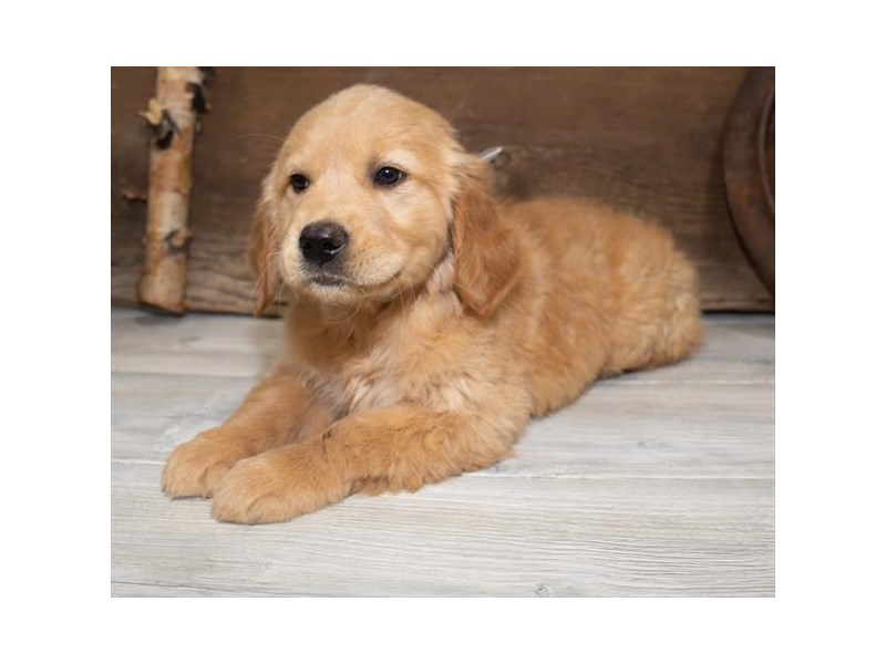Golden Retriever-Female-Golden-2534255-Petland Naperville