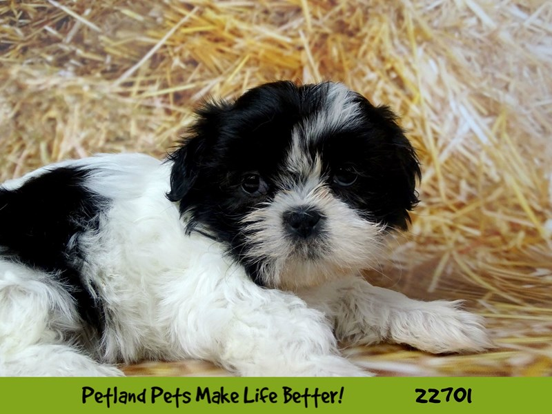 Shih Tzu-Female-Black / White-2534262-Petland Naperville