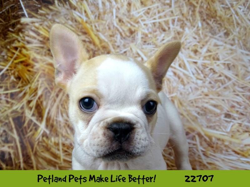 French Bulldog-Female-Cream-2534249-Petland Naperville