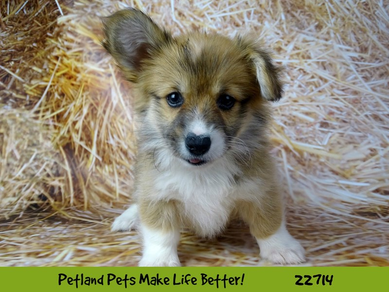 Pembroke Welsh Corgi-Female-Red and white-2539156-Petland Naperville