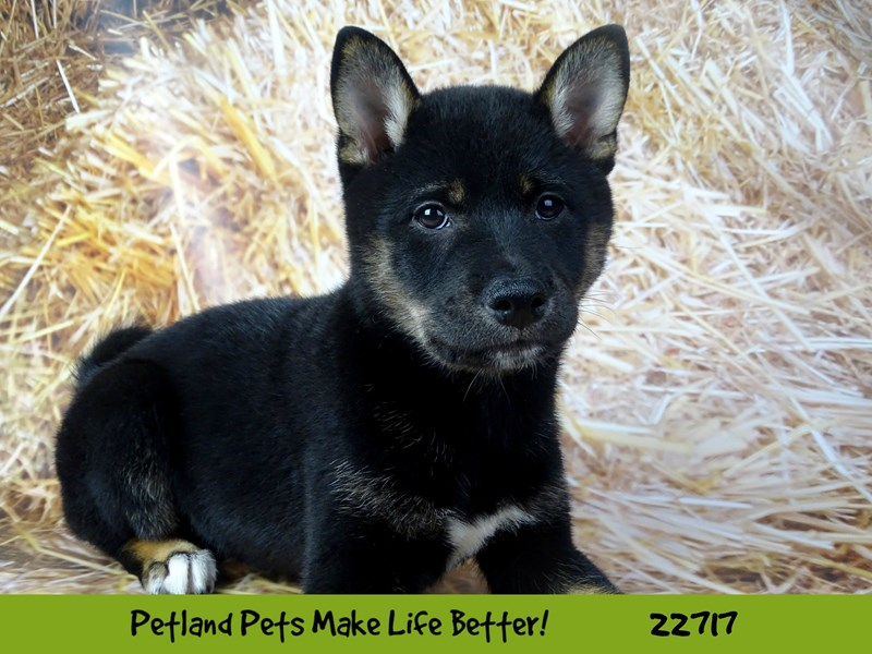 Shiba Inu-Male-Black and Tan-2539248-Petland Naperville