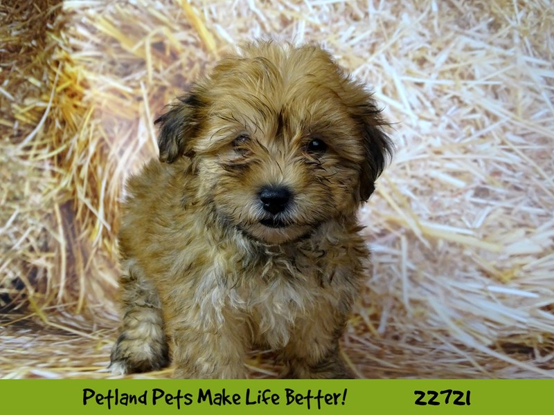 Morkie-Female-Brown-2539355-Petland Naperville