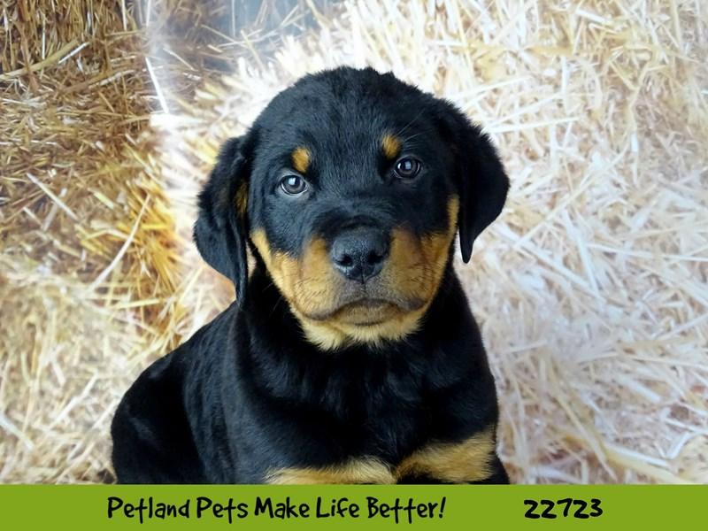 Rottweiler-Male-Black / Mahogany-2539172-Petland Naperville