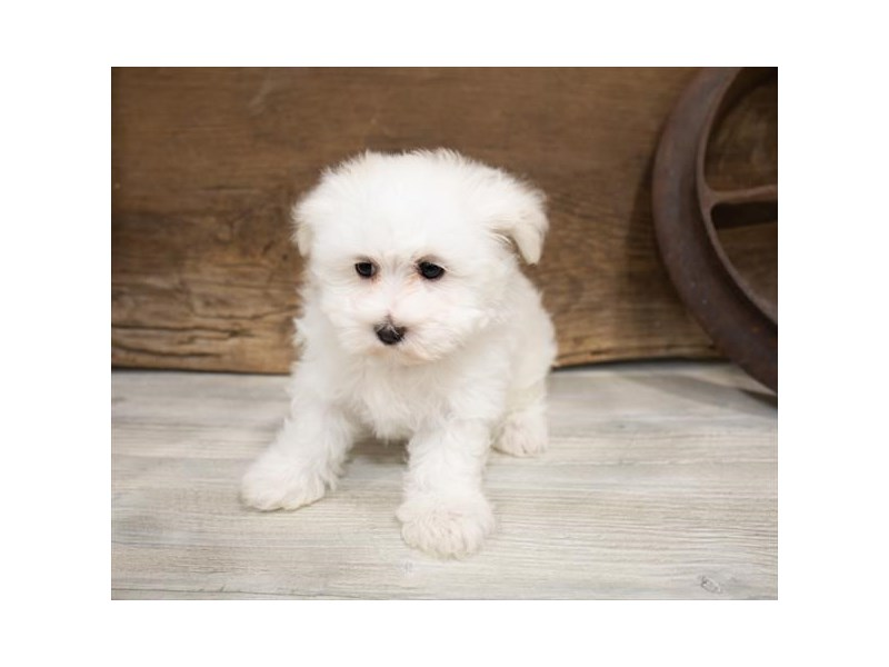 Maltese-Female-White-2540493-Petland Naperville
