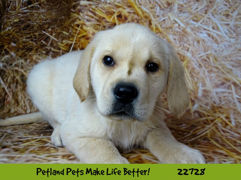 Labrador Retriever-Male-Yellow-2544979-Petland Naperville