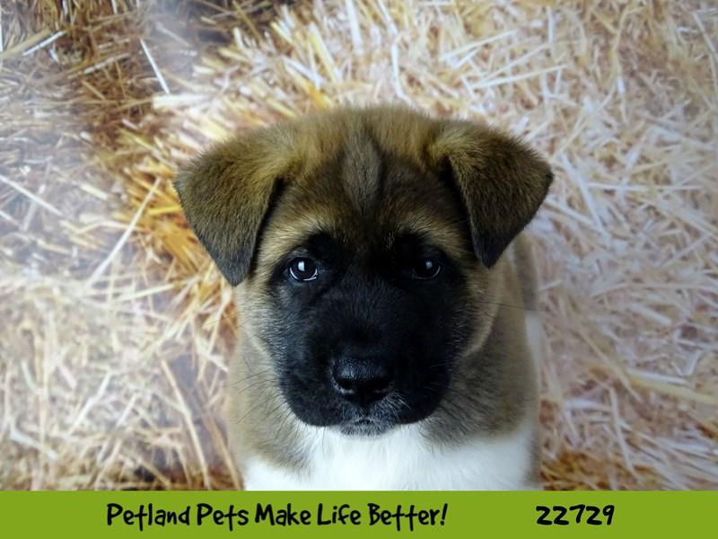 Akita-Female-Pinto and White-2545019-Petland Naperville