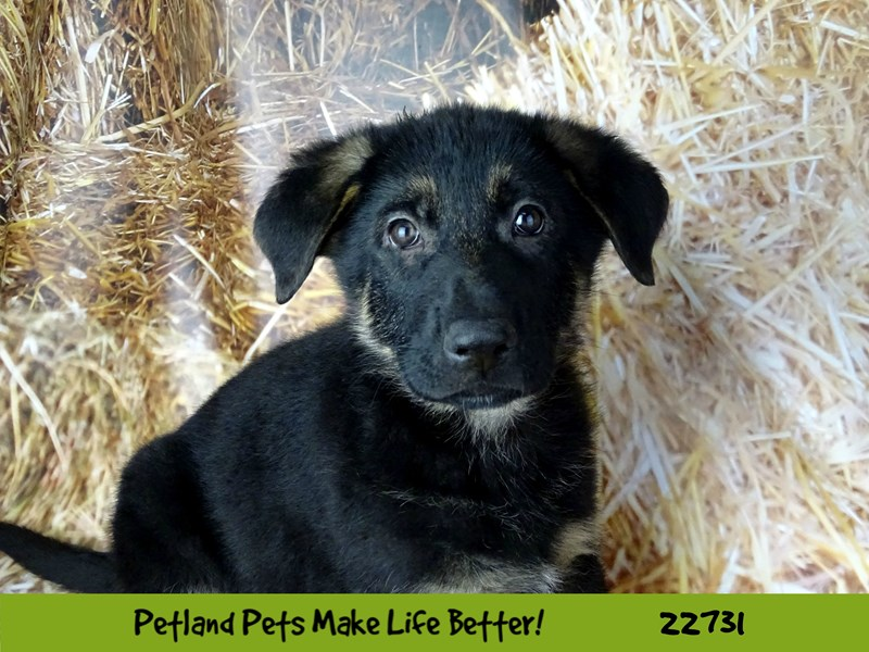 German Shepherd-Male-Black and Tan-2545102-Petland Naperville