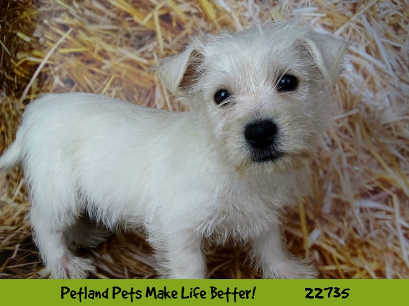 West Highland White Terrier-Female-White-2544994-Petland Naperville
