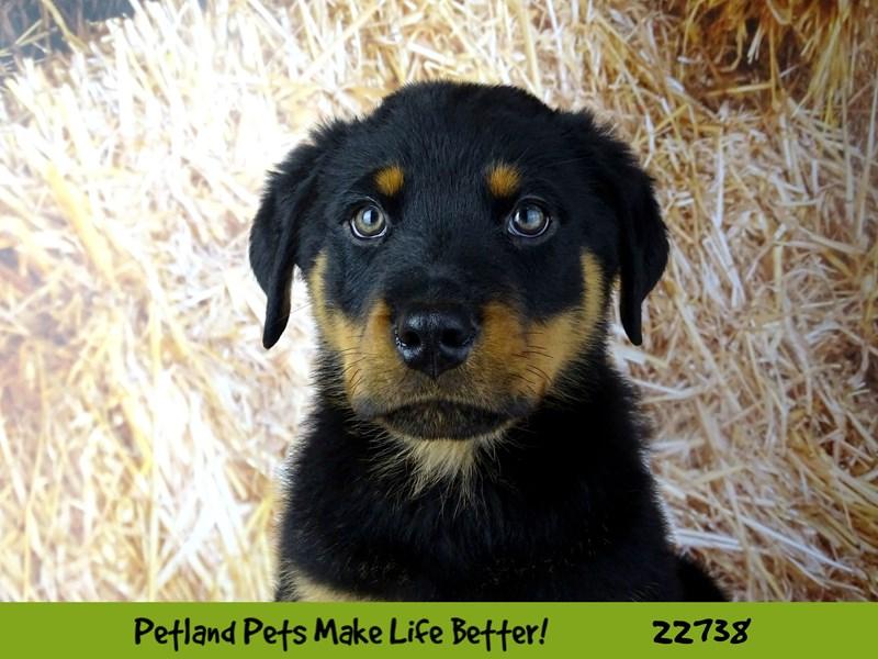Rottweiler-Male-Black / Mahogany-2545089-Petland Naperville