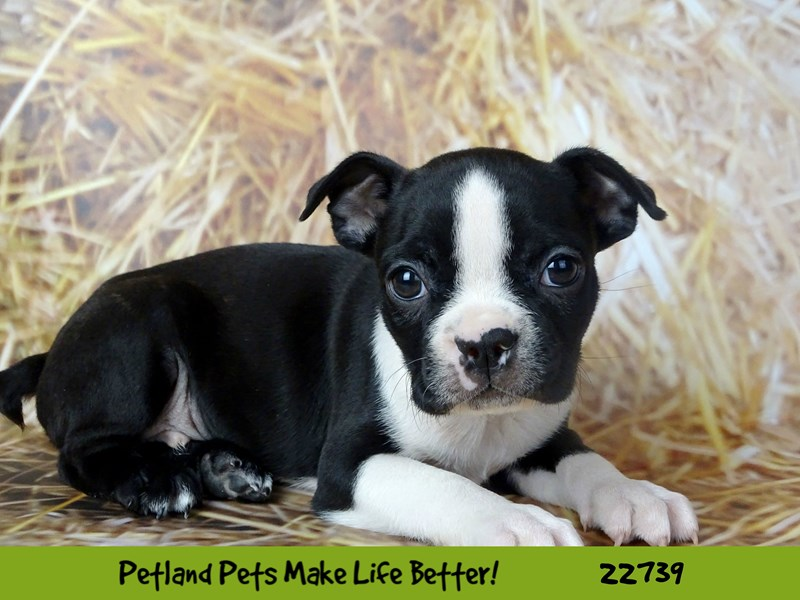 Boston Terrier-Male-Black / White-2544995-Petland Naperville