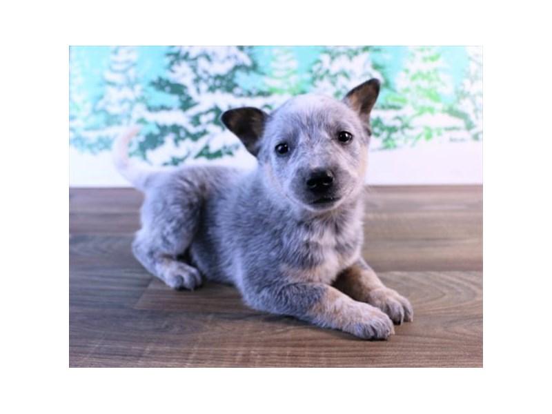 Australian Cattle Dog-Male-Blue Merle-2549994-Petland Naperville