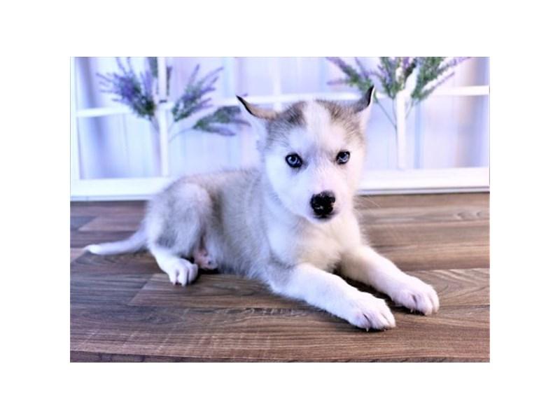 Siberian Husky-Male-Gray / White-2550003-Petland Naperville