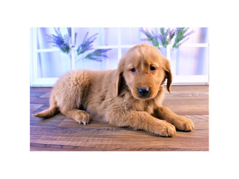 Golden Retriever-Male-Golden-2550039-Petland Naperville