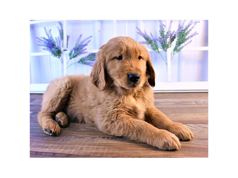 Golden Retriever-Male-Golden-2550042-Petland Naperville