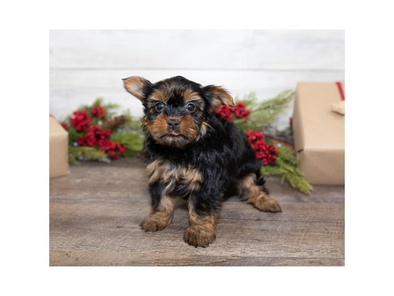 Yorkshire Terrier-Female-Black / Tan-2550046-Petland Naperville