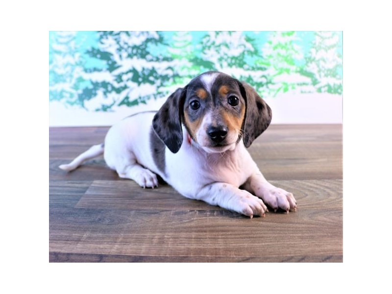 Dachshund-Female-Black / Tan-2550048-Petland Naperville