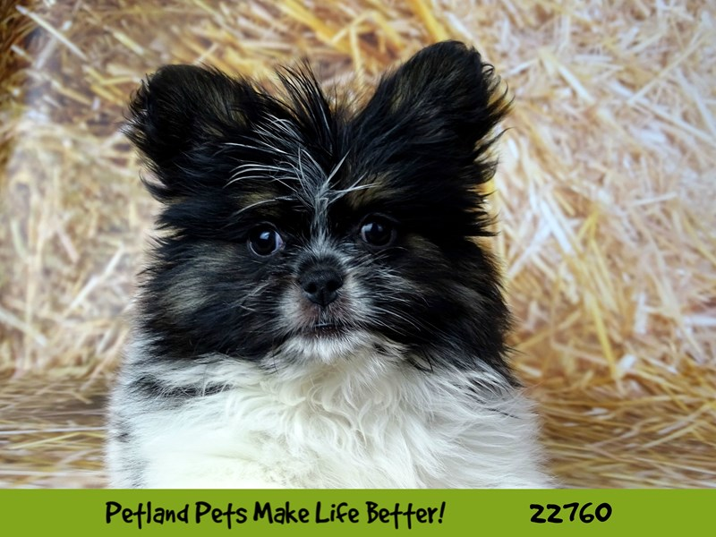 Pomeranian-Female-Orange-2550277-Petland Naperville
