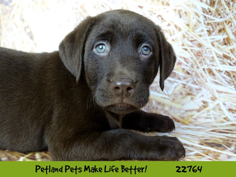 Labrador Retriever-Female-Chocolate-2555771-Petland Naperville