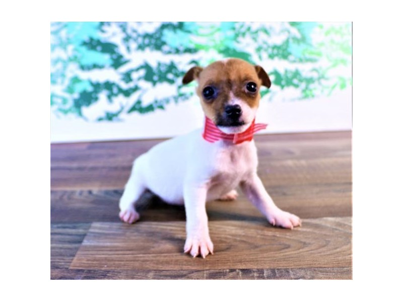 Jack Russell Terrier-Female-White-2557634-Petland Naperville