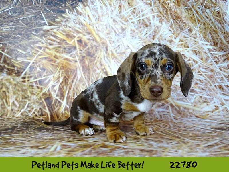 Dachshund-Male-Chocolate / Tan-2557633-Petland Naperville