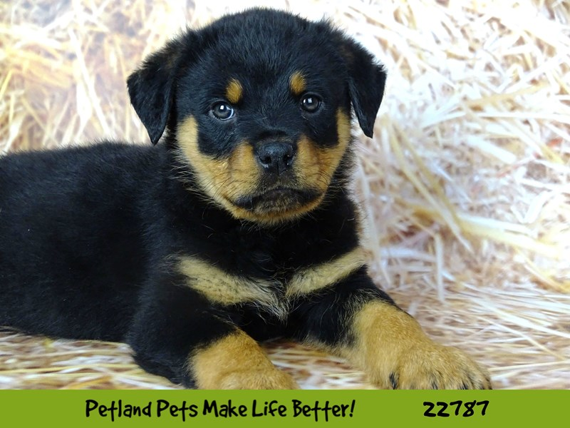 Rottweiler-Female-Black and Tan-2563252-Petland Naperville