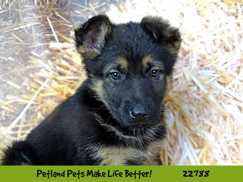 German Shepherd-Female-Black and Tan-2563303-Petland Naperville