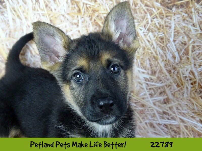 German Shepherd-Male-Black and Tan-2563351-Petland Naperville