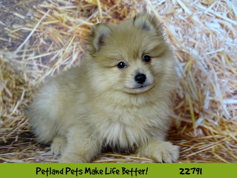 Pomeranian-Male-Orange-2563212-Petland Naperville