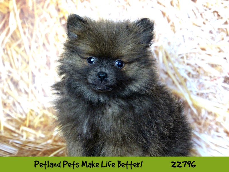 Pomeranian-Female-Chocolate-2565435-Petland Naperville