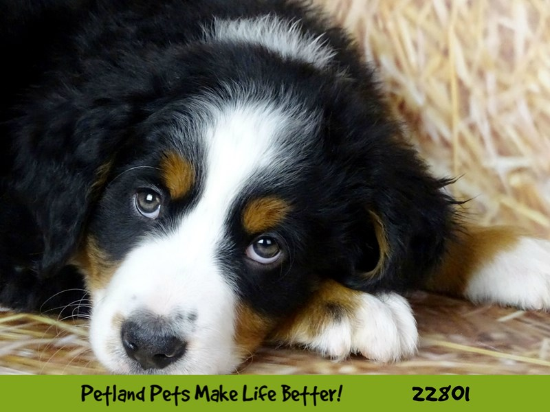 Bernese Mountain Dog-Male-Black Rust / White-2565405-Petland Naperville