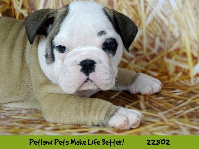 Bulldog-Female-Fawn-2565440-Petland Naperville