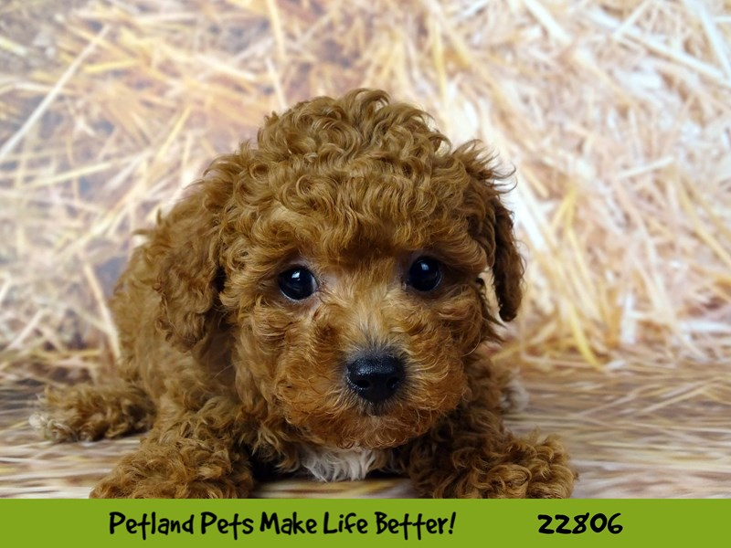 Poodle-Male-Apricot-2570071-Petland Naperville