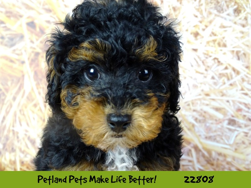 Poodle-Male-Black and Tan-2570082-Petland Naperville