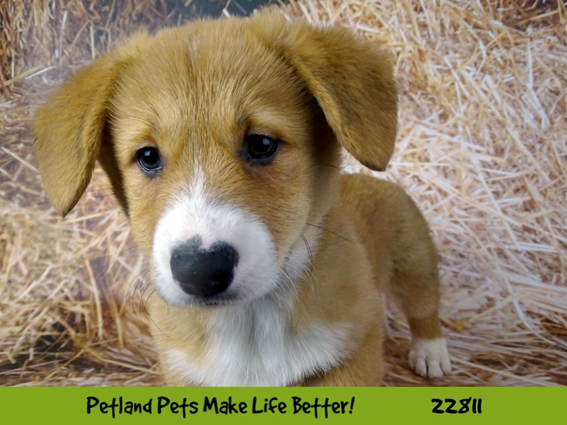 Pembroke Welsh Corgi-DOG-Male-Red and white-2570135-Petland Naperville