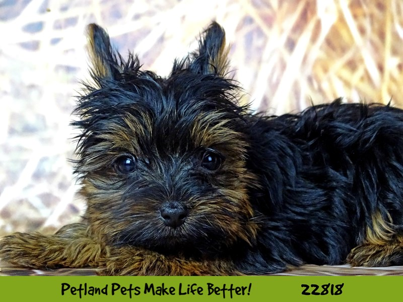 Yorkshire Terrier-Female-Black and Tan-2570189-Petland Naperville