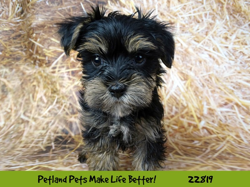 Morkie-Female-Black and Brown-2570192-Petland Naperville
