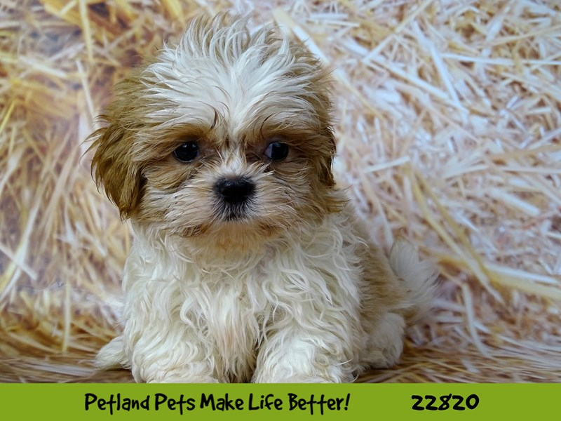 Shih Tzu-Male-Brown and White-2570207-Petland Naperville