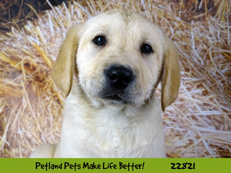 Labrador Retriever-Male-Yellow-2570210-Petland Naperville