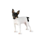 Petland Naperville Toy Fox Terrier