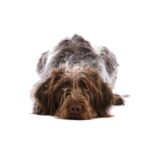 Petland Naperville German Wirehaired Pointer